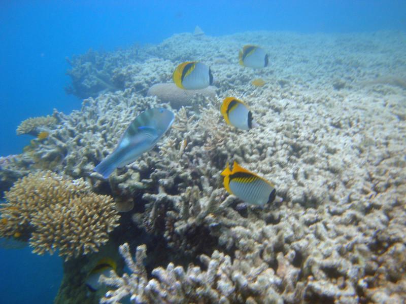 Fish yellow-tailed 1.jpg