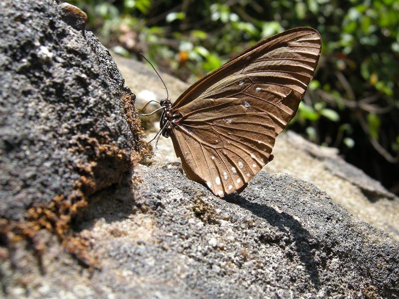 Butterfly - Vietnam