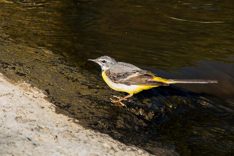 Grey Wagtail - Virtavästäräkki - Motacilla cinerea