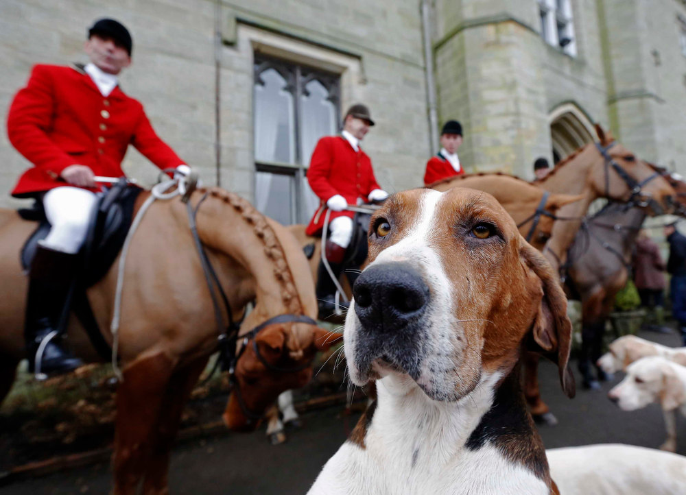 . A foxhound is seen near members of the Old Surrey Burstow and West Kent Hunt at Chiddingstone Castle during the annual Boxing Day hunt in Chiddingstone, south east England December 26, 2012. A ban imposed seven years ago states that foxes can be killed by a bird of prey or shot but not hunted by dogs. Hunts continue nowadays with pursuers accompanying dogs in chasing down a pre-laid scented trail.  REUTERS/Luke MacGregor