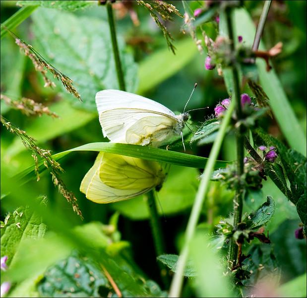 When Butterfflies Mate.jpg