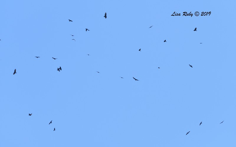 Kettle of Common Ravens  - 12/28/2019 - Lake Wohlford area