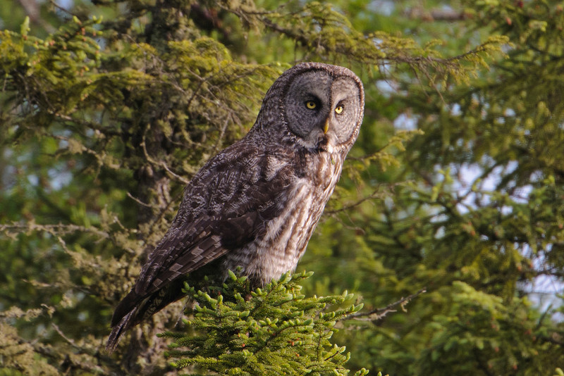 Owl - Great Gray - Itasca County Road 72 - MN - 02