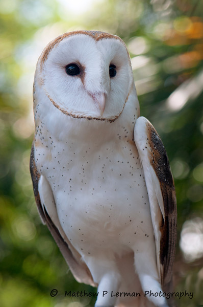 Bird Barn Owl_7664.jpg