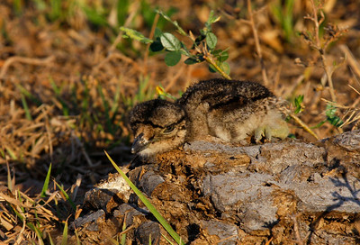 Birding Plus - Venezuela's Llanos: Birding & Photography