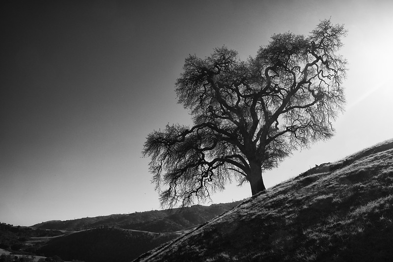 Oak Sunol