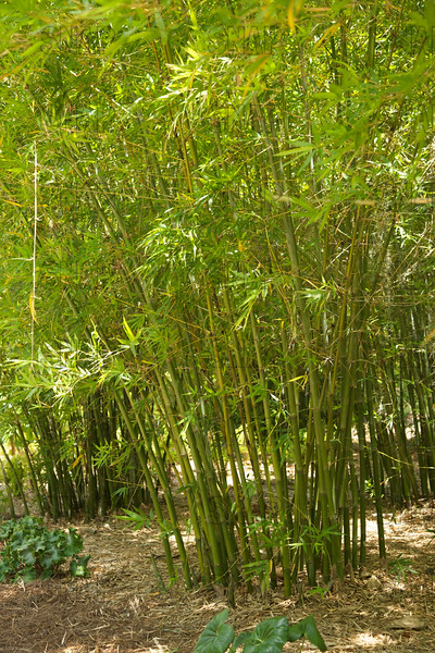 Seabreeze Bamboo (Bambusa malingensis); native to China & Japan, at the Jacksonville Zoo and Gardens.