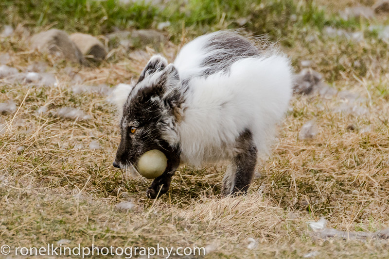 Arctic Fox stealing eggs from the nests