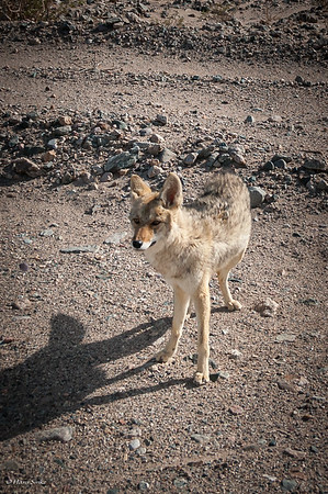 Coyote (spp. mearnsi *)