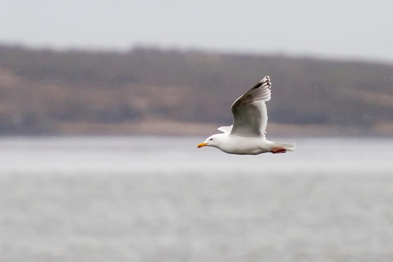 Herring Gull - Borgarnes, Iceland