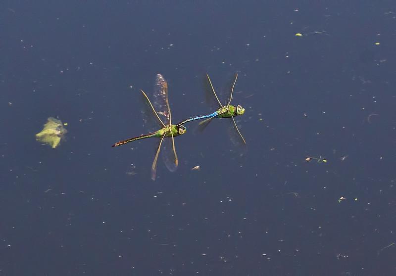 Common Green Darner, tandem pair in flight, Taylor's Bridge