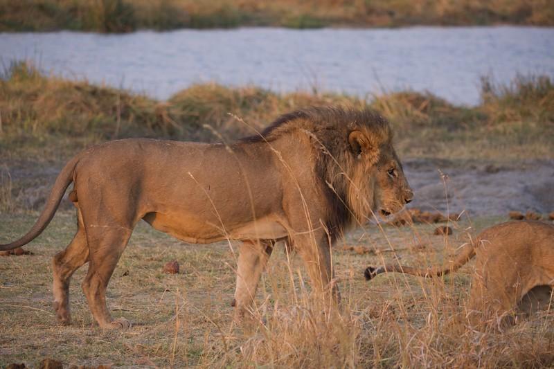 Lion pride at watering hole, Selinda Explorer camp, Botswana