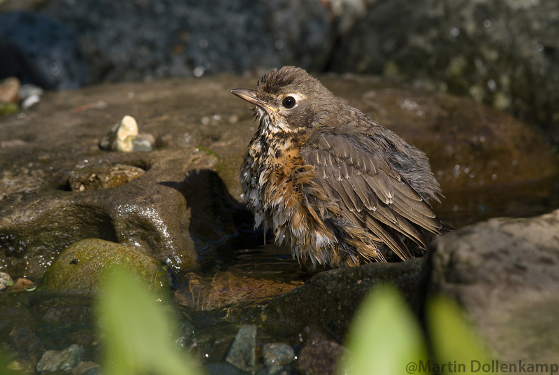 American Robin, having a bath in the waterfall for the pond.
