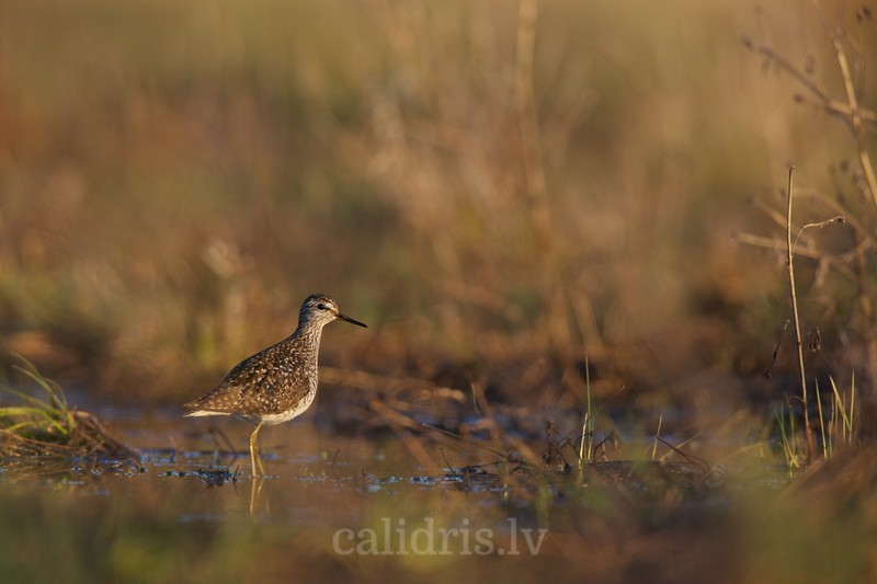 Wood Sandpiper in a flooded field