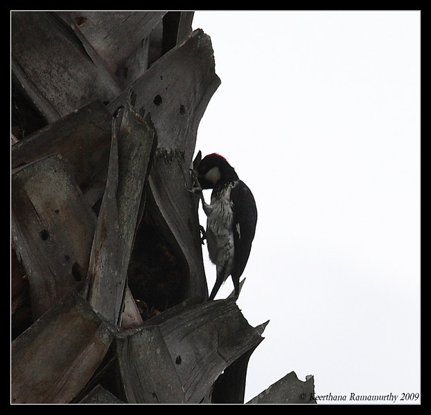 Acorn Woodpecker, Record Shot on a cloudy day, Lake Hodges, San Diego County, California, February 2009