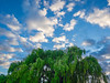 Morning Clouds Encircling Big Willow Tree