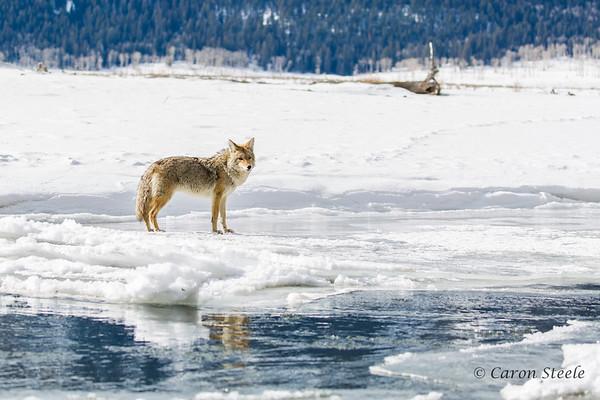 Yellowstone  in Winter 2015 - Lamar Valley