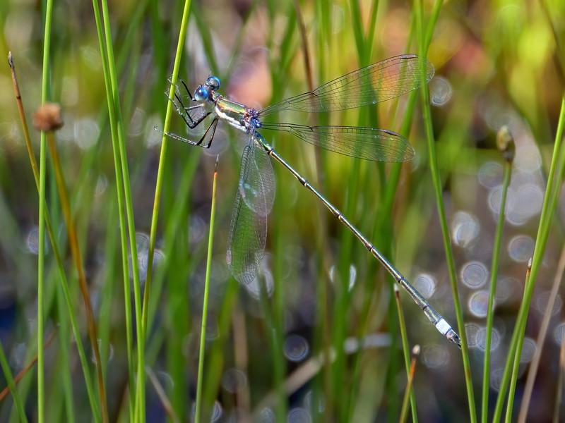 Swamp Spreadwing (Lestes vigilax), male