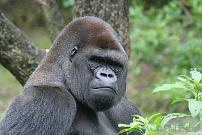 Silverback Gorilla (In captivity)