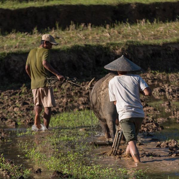 Farmers plowing field with buffalo, Kamu Lodge, Ban Gnoyhai, Luang Prabang, Laos