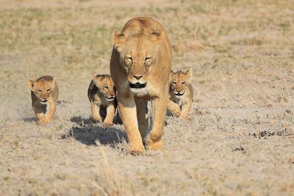 Lion Cubs of Amboseli Kenya 2017