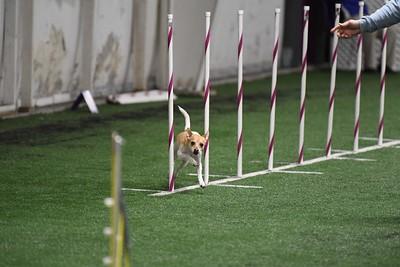 Lhasa Apso/ Biewer Terrier AKC Agility Trial November 2-5