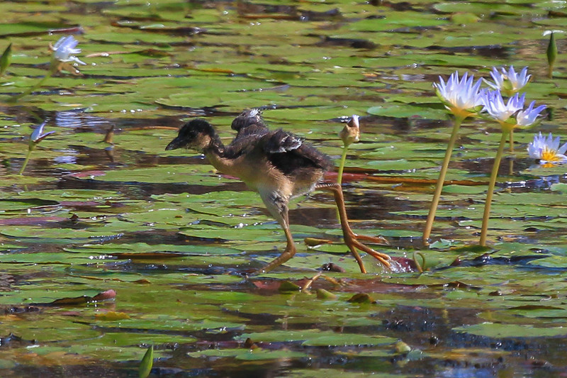 zAnahuac 8-21-14, Old T3i, 076A, PG chick high stepping (1 of 1).jpg