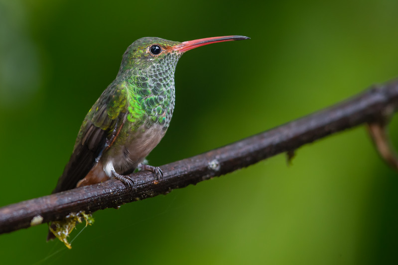 Rufous-tailed Hummingbird - Tandayapa Lodge, Quito, Ecuador