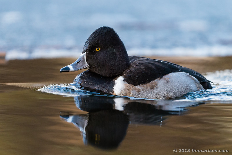 Halsbåndstroldand (Aythya collaris - Ring-necked Duck)
