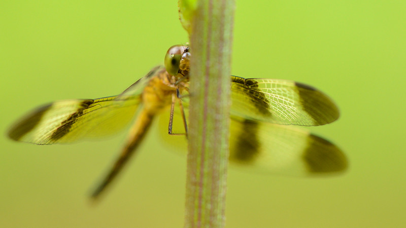 Dragon-fly-agumbe1.jpg