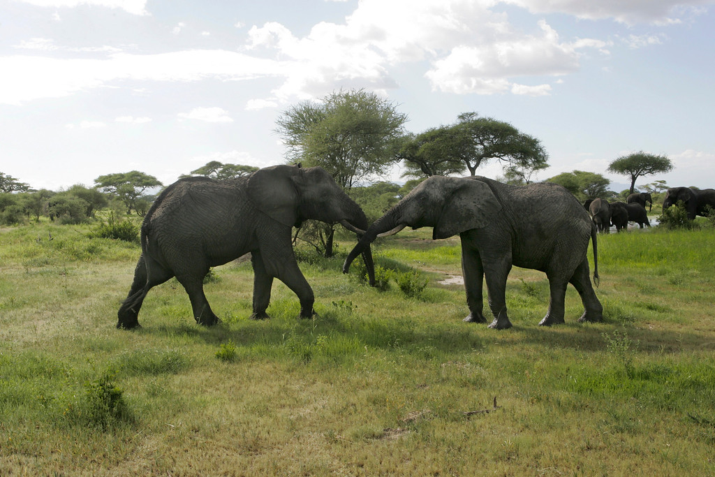 . Two elephants give each other a welcome greeting in Tarangire National Park, Tanzania, Africa.