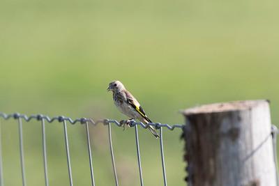 vogels ackerdijk-2016-3