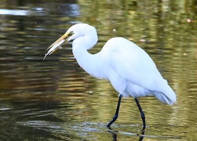 Great Egret Fishing - Nov 2016