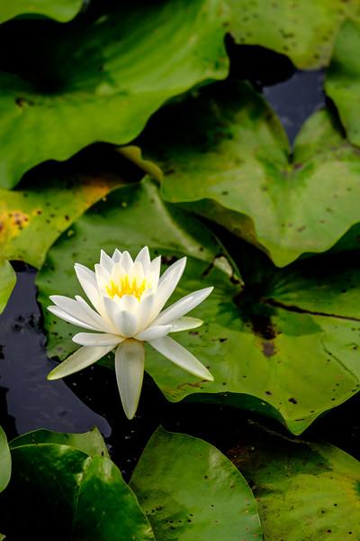 20190707 Kenilworth Aquatic Gardens 094-Enhanced.jpg