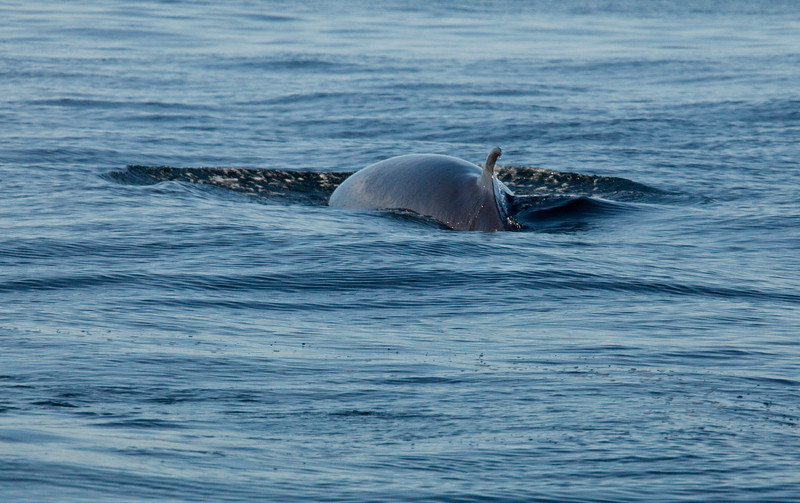 2011 quebec whale watching (11 of 80).jpg
