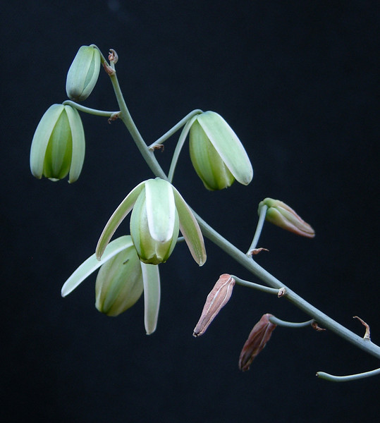 Albuca pendula flowers