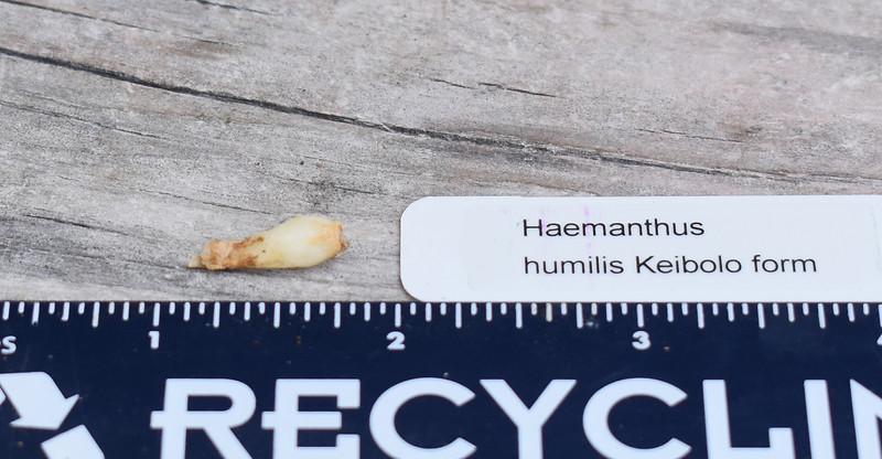 Haemanthus humilis Keibolo 2019-09-10.jpg