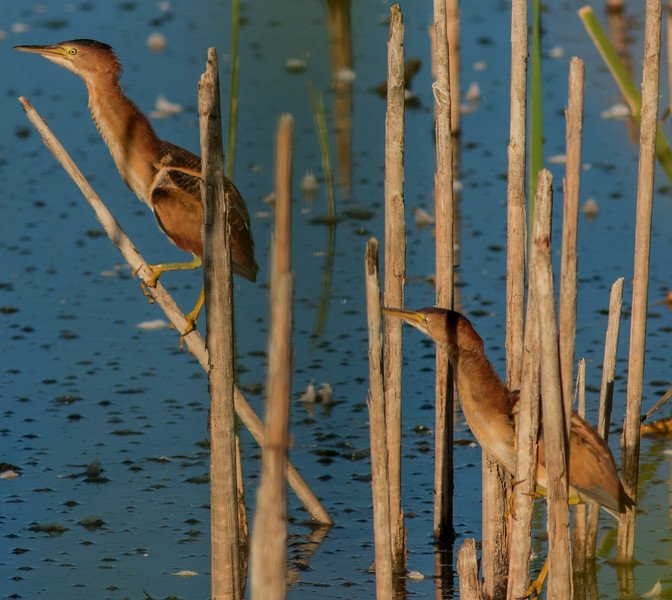 Two for the Reeds