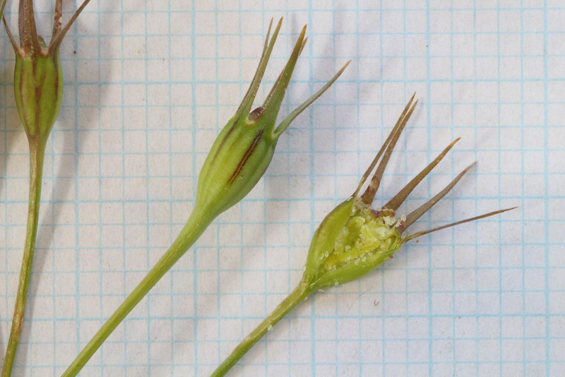 Wahlenbergia - imature seed