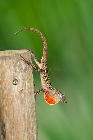 Lizards