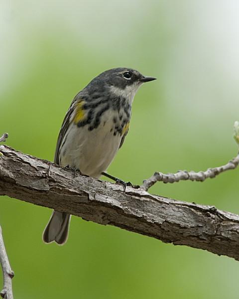 Yellow Rumped Warbler  Tuttle Creek SP  Manhattan, KS