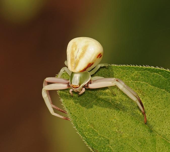Misumena vatia (Crab Spider)
