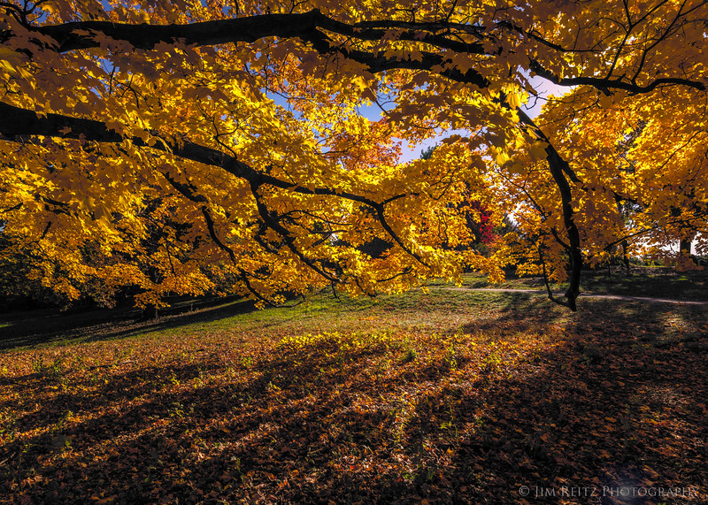 Maple and sunshine - Minnesota Landscape Arboretum