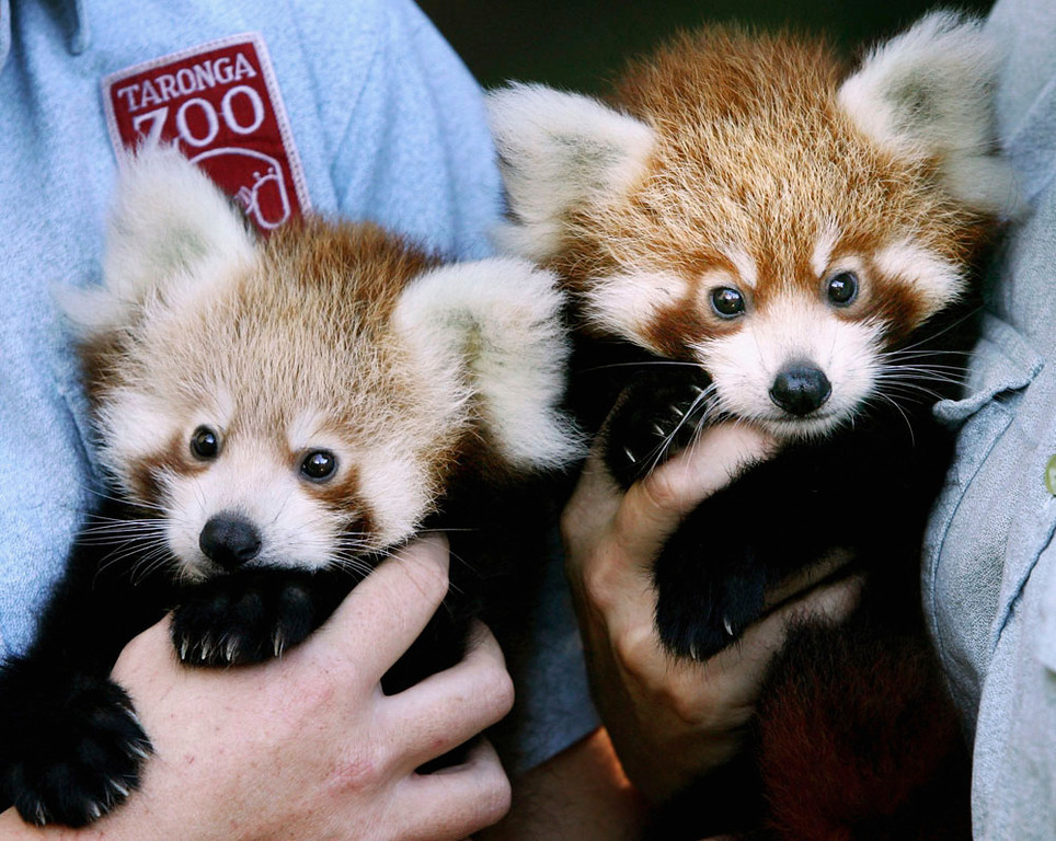 ". Twin two-month-old Red Panda cubs ""Tenzin\"" (R) and \""Jishnu\"" make their debut at Taronga Zoo March 28, 2007 in Sydney, Australia. The rare cub twins, born in January, have just begun to emerge from their nestbox. The Red Panda cubs are a result of the international breeding program for the endangered species, with Taronga Zoo producing 43 cubs since 1977.  (Photo by Ian Waldie/Getty Images)"