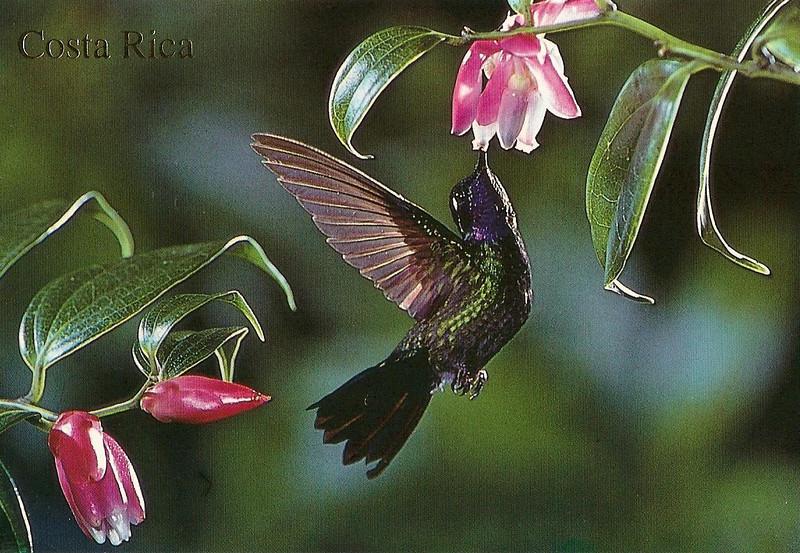 043_Purple-Throadted Mountaigem visiting an epiphytic flower.jpg