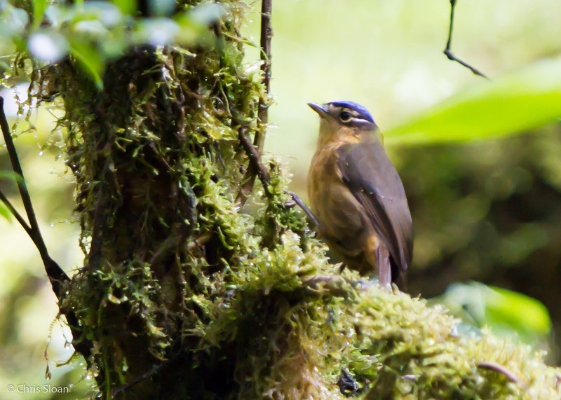 Blue-capped Ifrita at Upper Tari Valley, Southern Highlands Province, Papua New Guinea (10-04-2013) 1572.jpg
