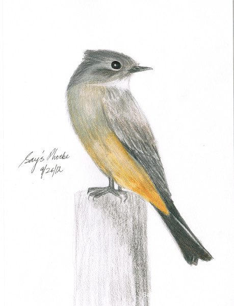 Say's Phoebe - September, 2012
