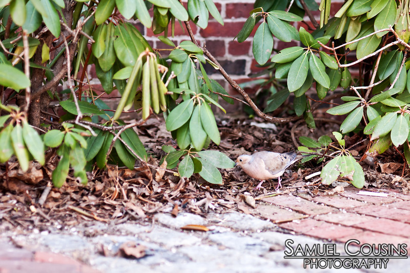 A dove looking for nest material in Tommy's Park.