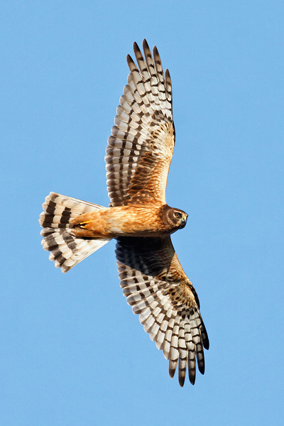 Northern Harrier -  Stares at the photographer in flight