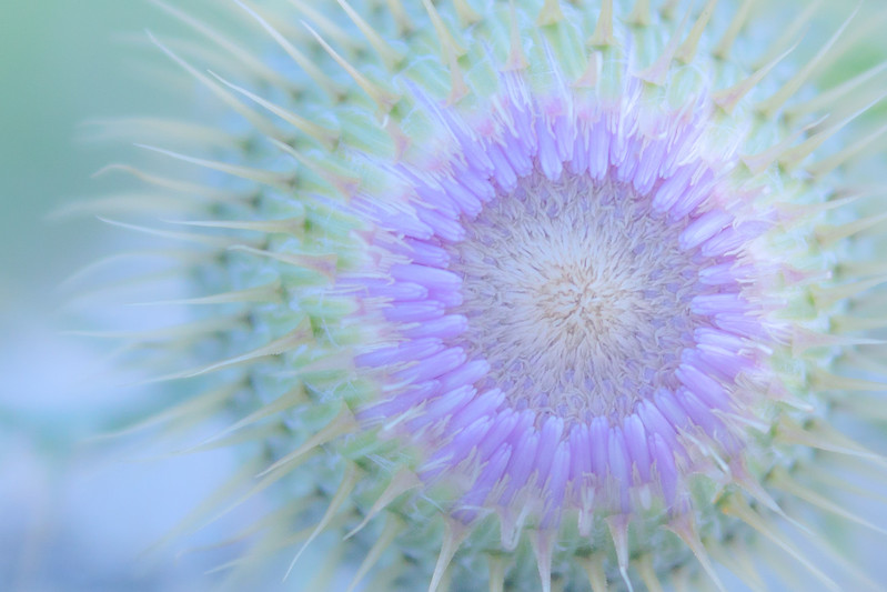 thistle, waiting to bloom